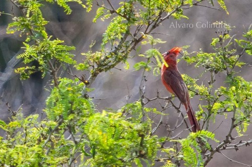 Singing Cardinal by Alvaro Colindres