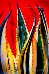 Flaming Agave by Alvaro Colindres