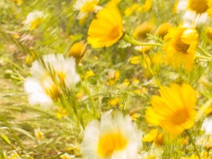 Wild Daisies by Alvaro Colindres
