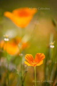 Baja Poppies by Alvaro Colindres
