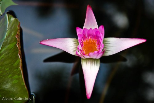 Water Lilly By Alvaro Colindres