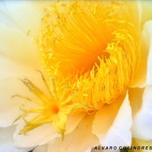 Night Blooming Cereus by Alvaro Colindres