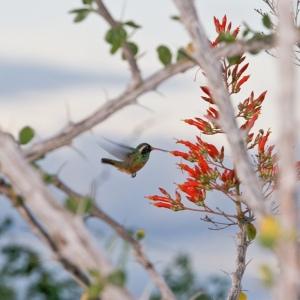 Colibri y Palo Adam © Alvaro Colindres