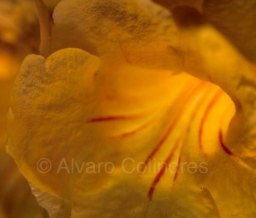 Palo de Arco Blossom • Macro lens back lit with off camera flash © Alvaro Colindres