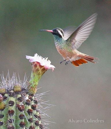 Pitaya y Colibri © Alvaro Colindres